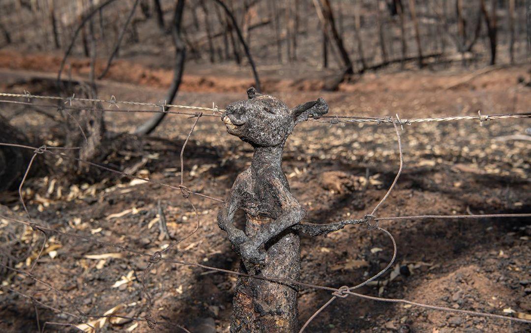 Этот кенгуру пытался убежать от огня. Но не успел... Всего австралийские пожары унесли жизни более 500 миллионов животных